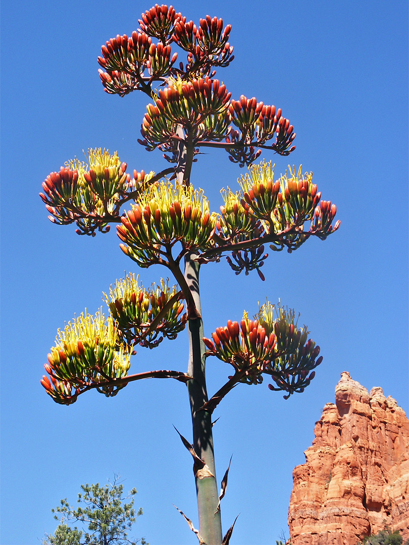 Agave flower, red stage