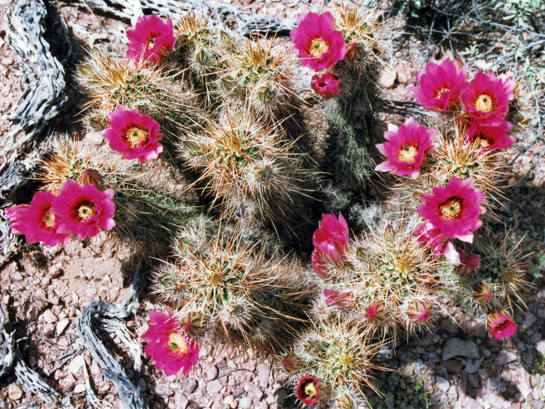Group of echinocereus