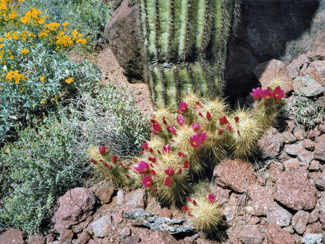 Cacti near Alamo Canyon