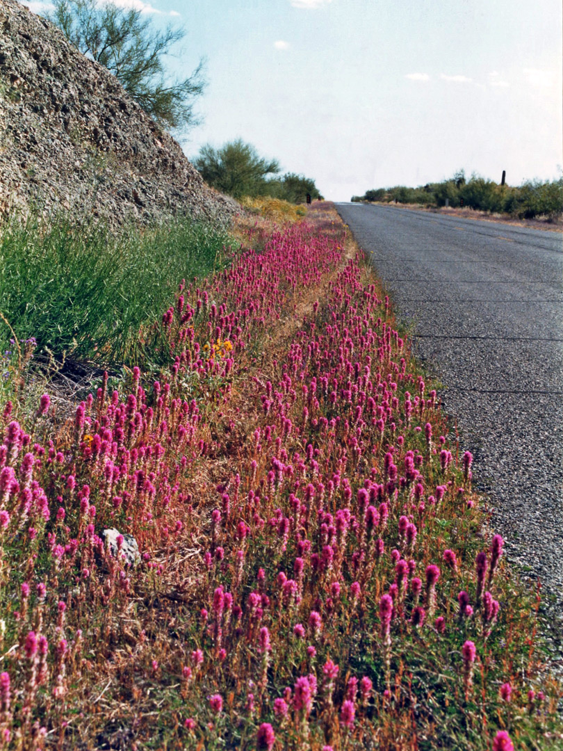 Flowers beside Alamo Lake Road