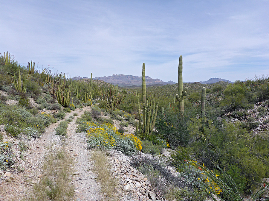 Saguaro by the trail