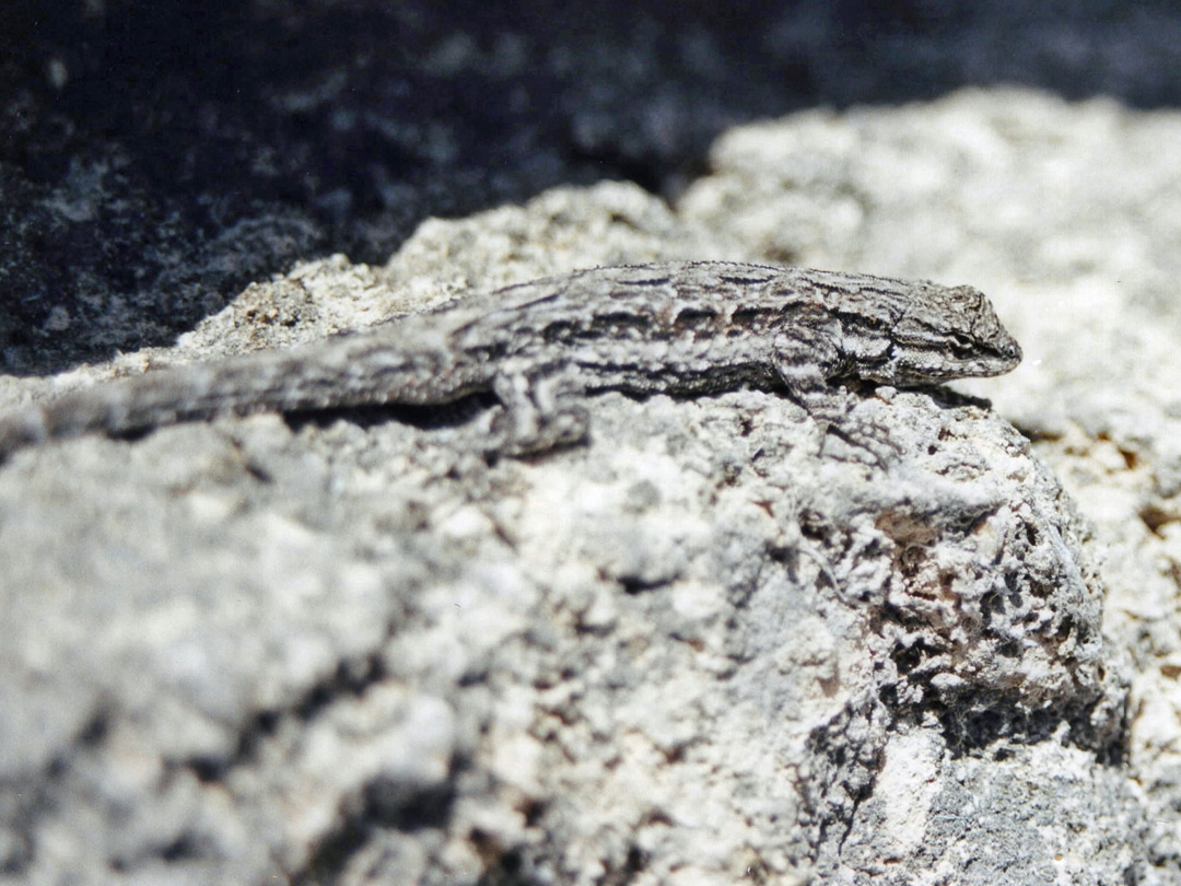 Well camouflaged lizard