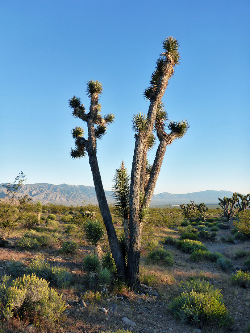 Tall Joshua tree