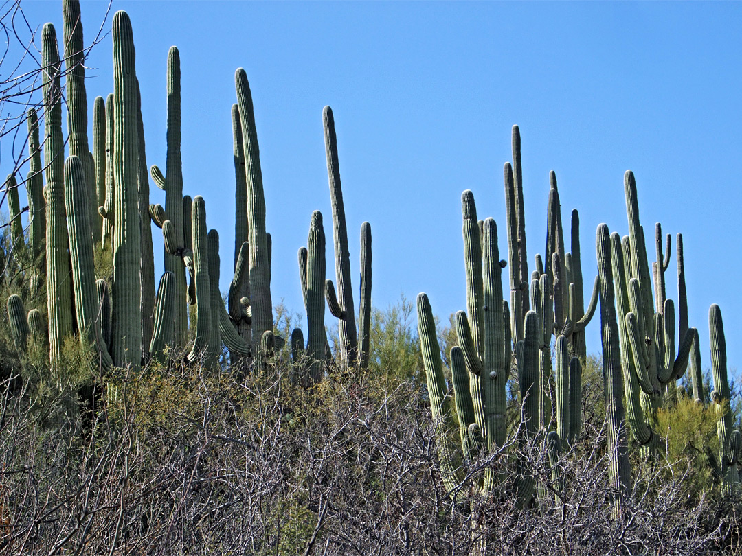 Saguaro above a dry wash