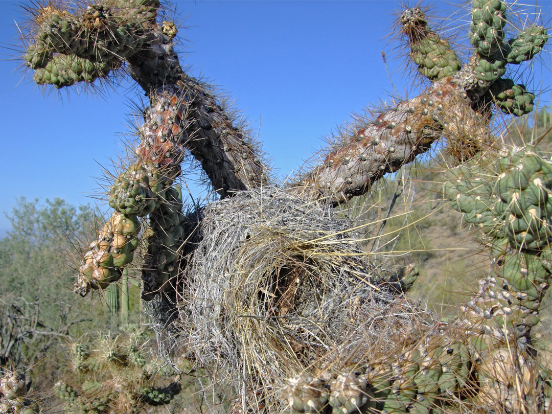 Birds nest in a cholla cactus