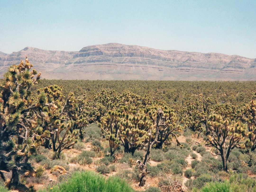 Joshua trees, east of the Pearce Ferry road