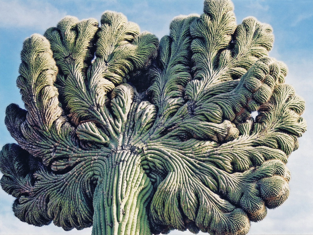 Top of a cristate saguaro