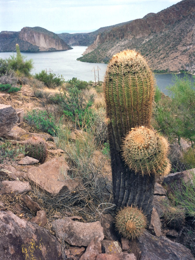 A ferocactus, above Canyon Lake