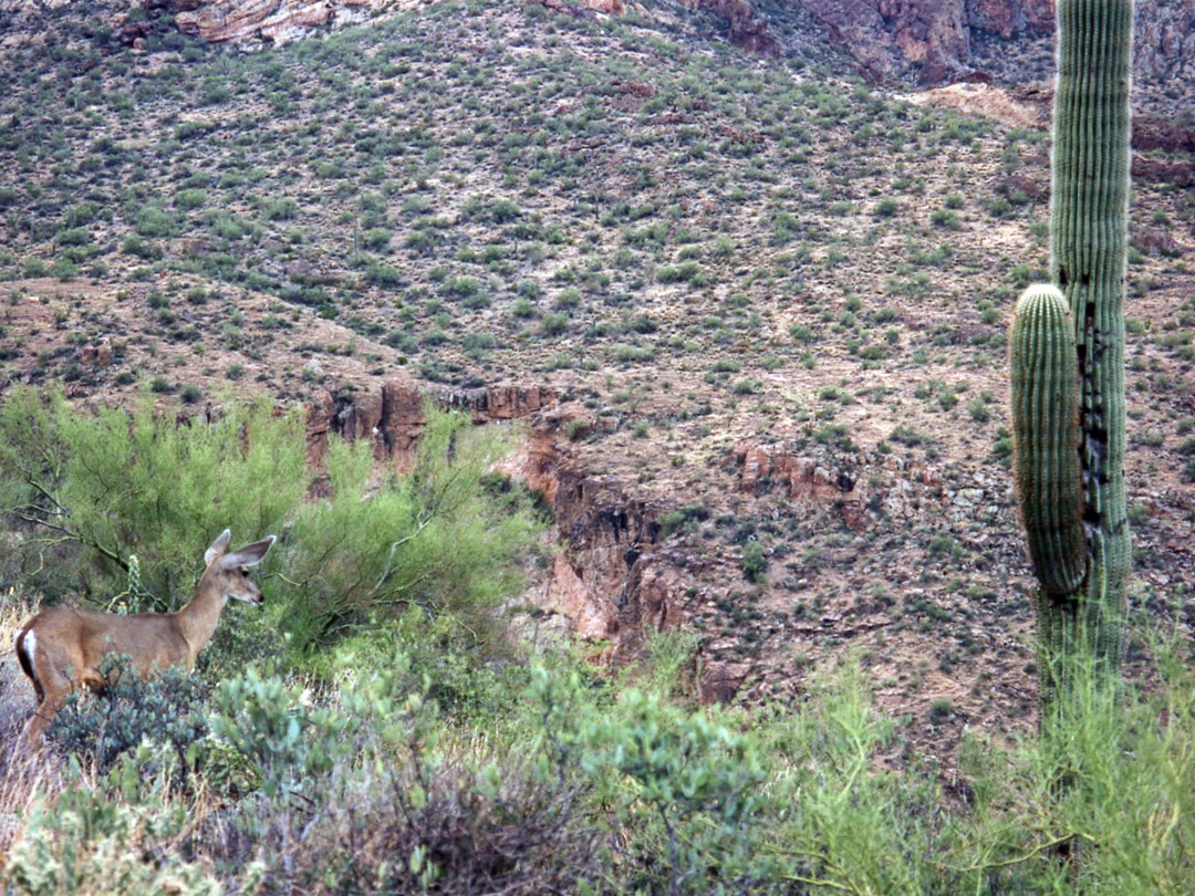 Mule deer and a saguaro