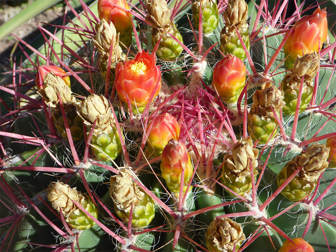 Ferocactus pilosus - flowers and buds