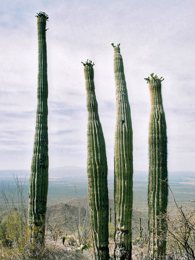 Branched saguaro