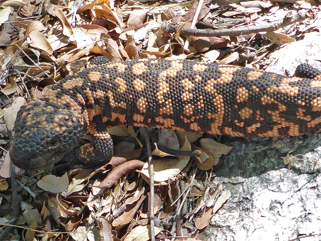 Gila monster - close view