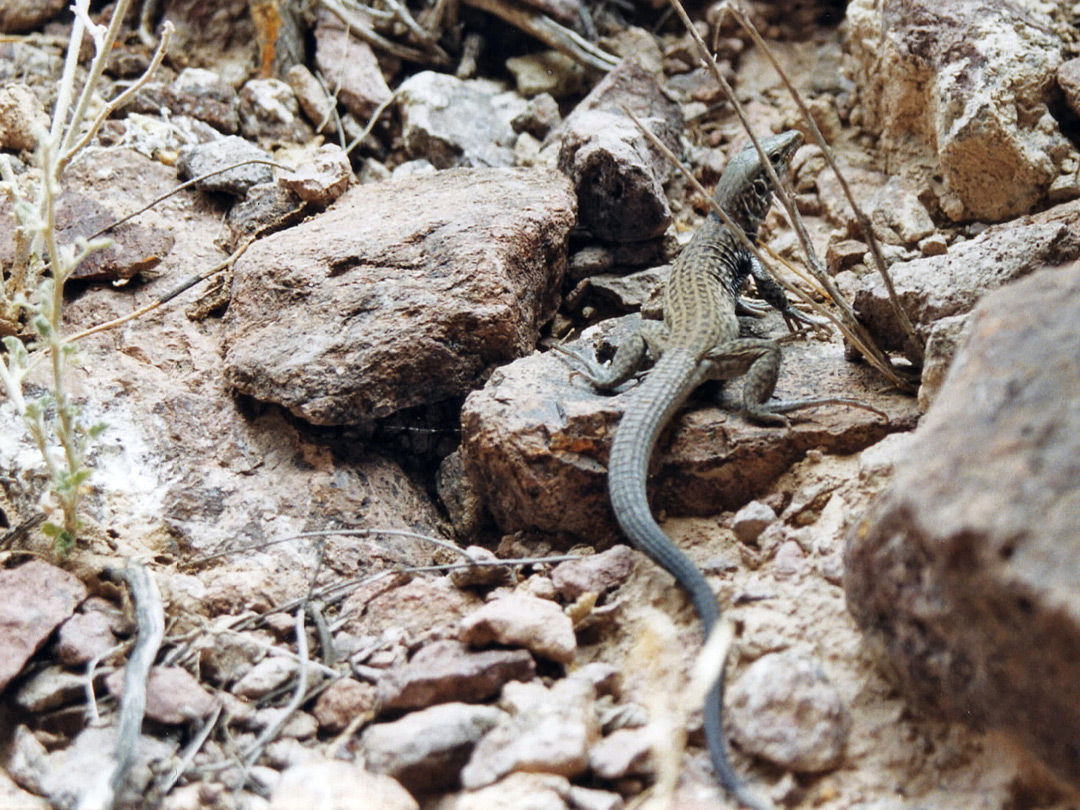 Western whiptail lizard