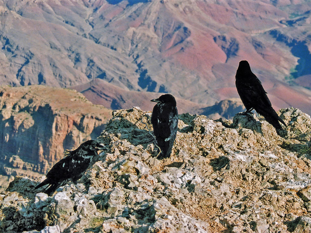 Ravens at Lipan Point