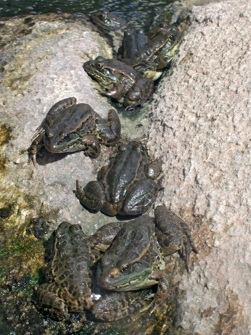 Group of lowland leopard frogs