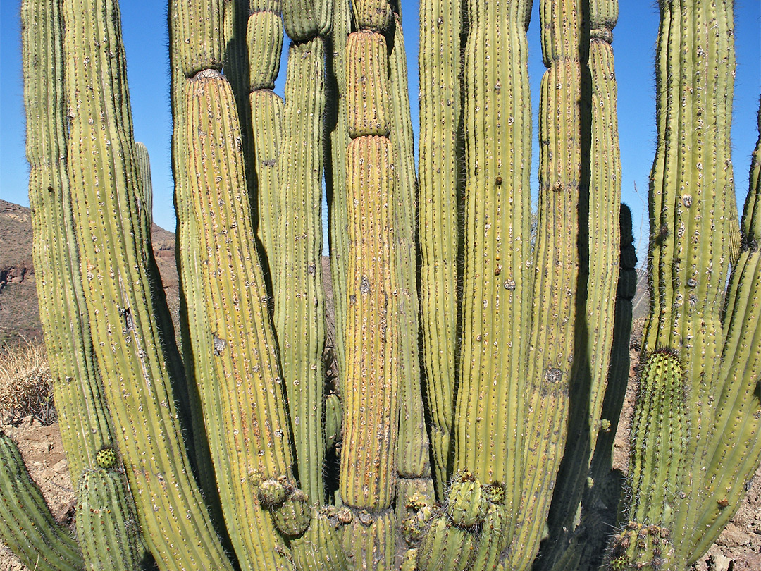 Stems of the organ pipe