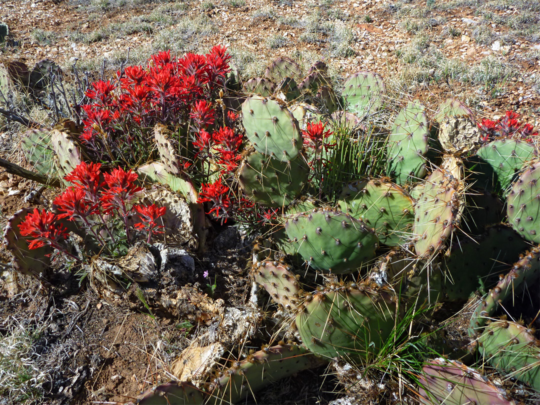 Opuntia and Indian paintbrush