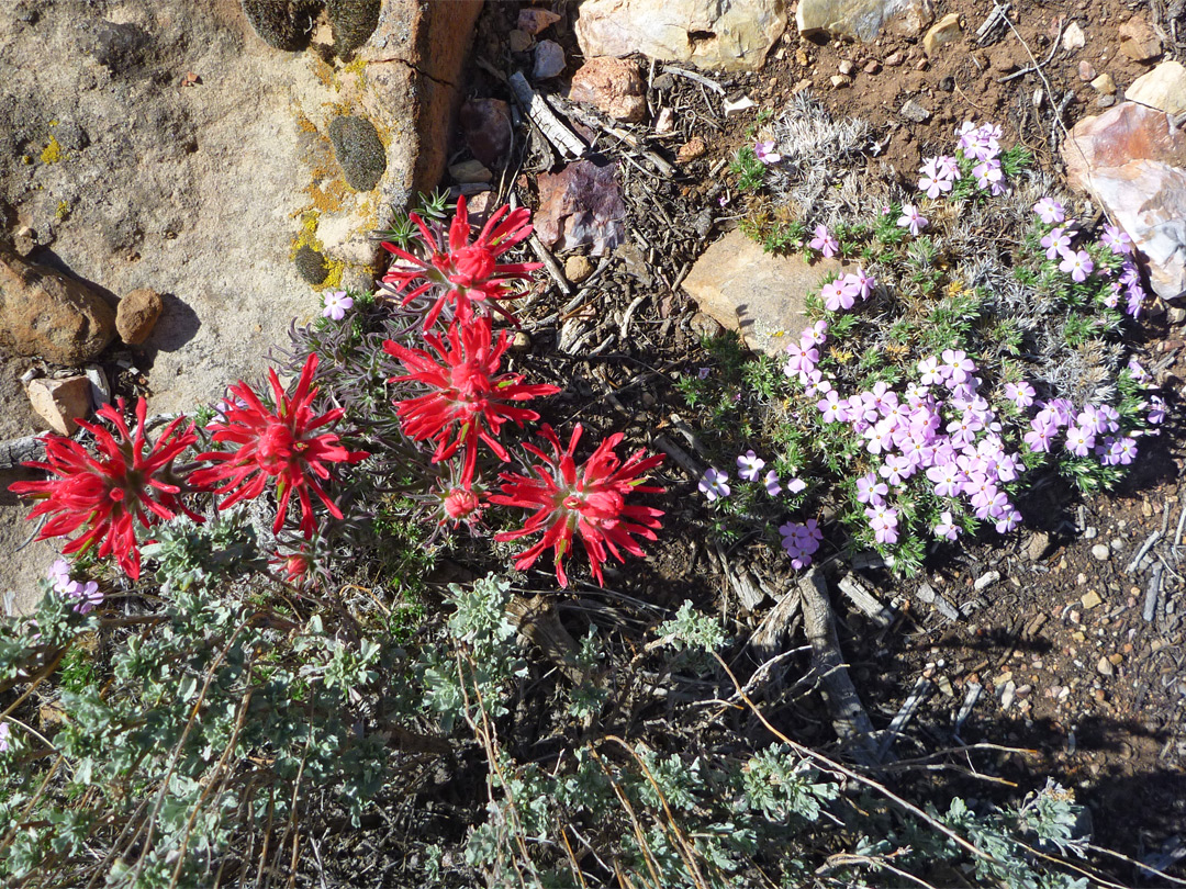 Phlox and Indian paintbrush