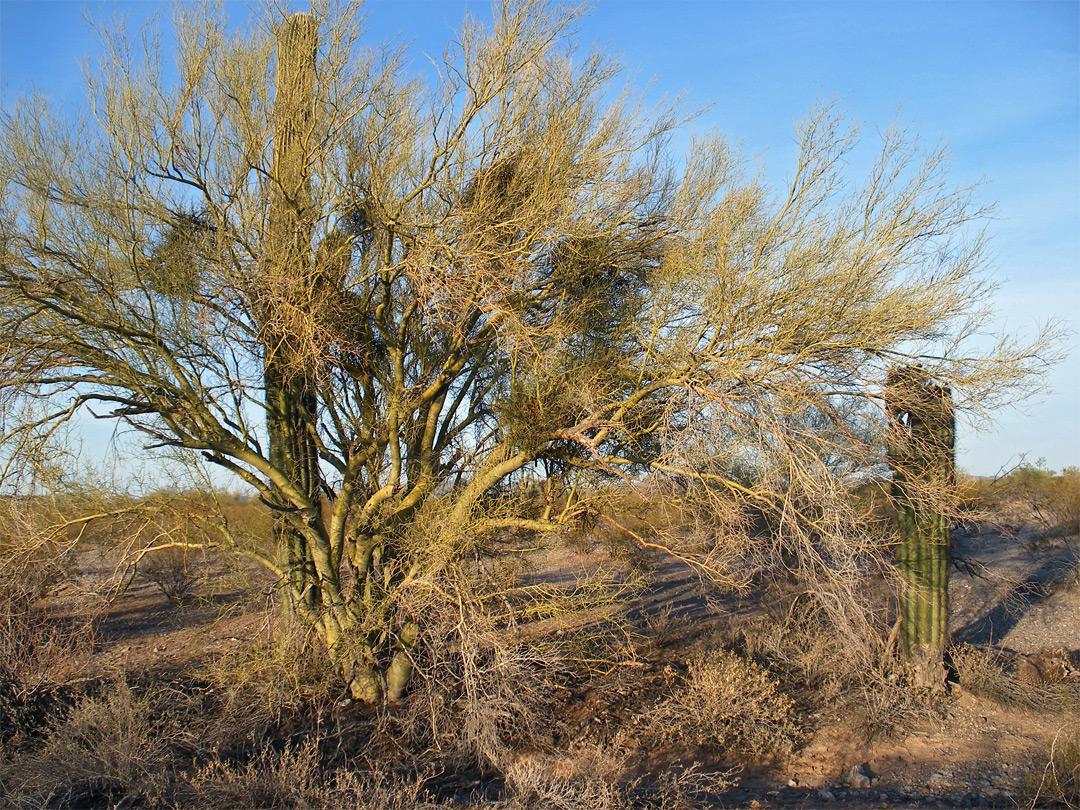 palo verde sonoran desert national monument arizona