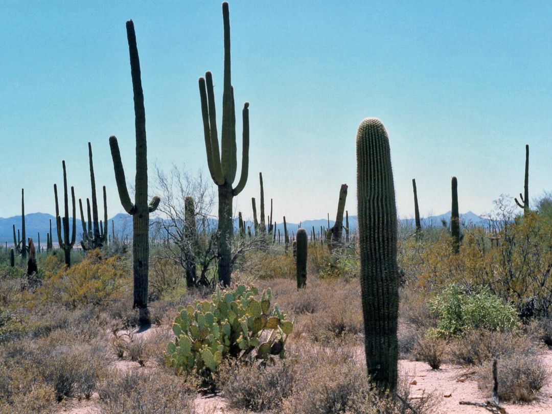 Cacti in Saguaro West