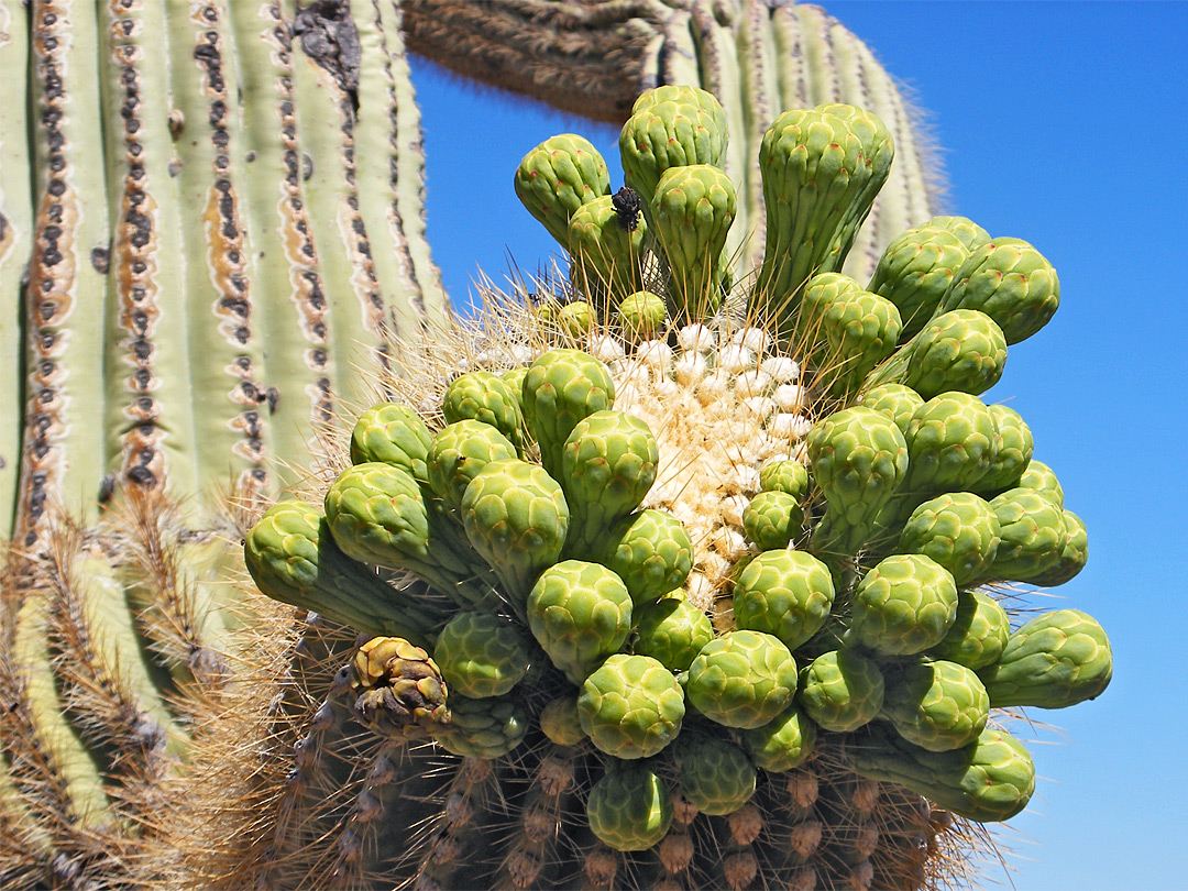 Saguaro flower buds