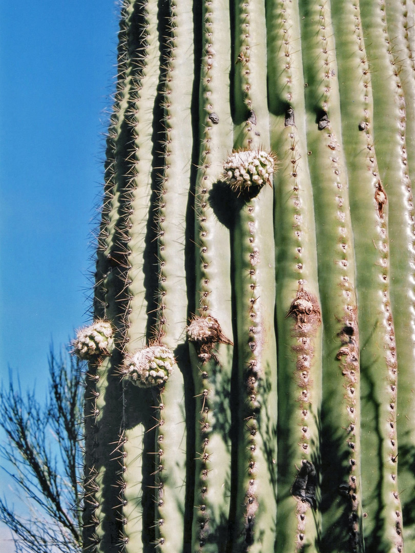 New saguaro branches