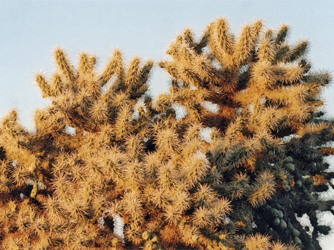 Cholla spines