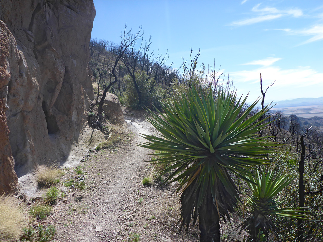 Yucca beside the trail
