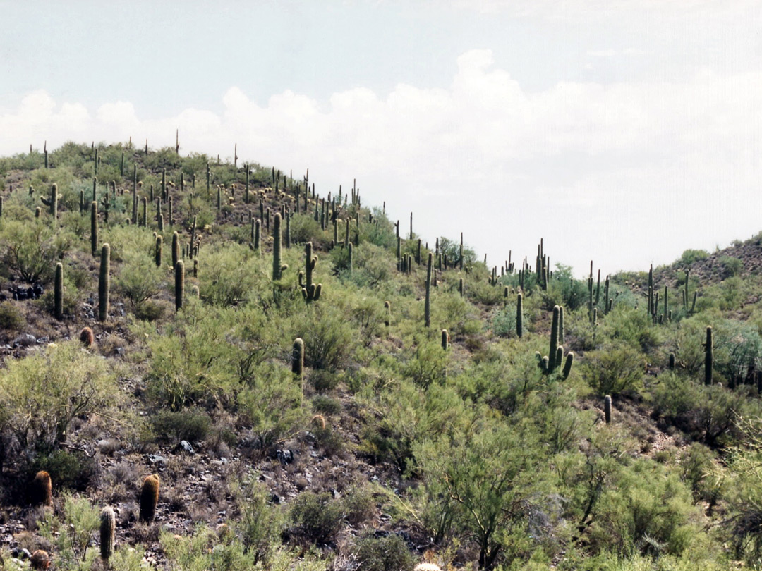 Saguaro covered hillside