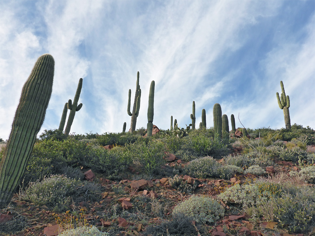 Saguaros above the path