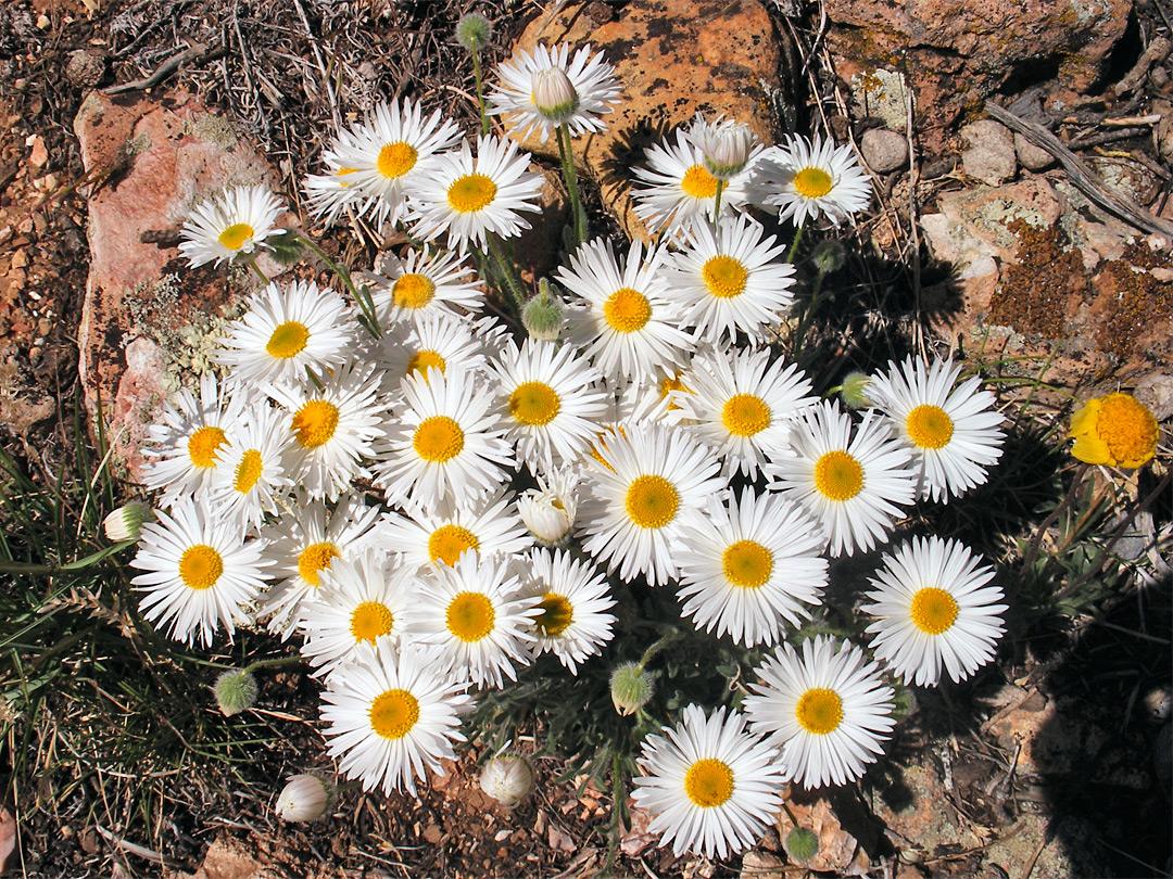 Tidy fleabane: Cedar Mountain Trail, Grand Canyon National
