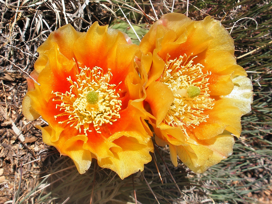Orange opuntia