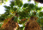 Fortynine Palms Oasis