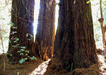 Redwood Creek Trail