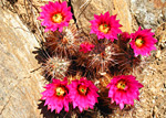 Engelmann's hedgehog cactus, Joshua Tree National Park