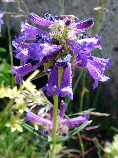 Sierra penstemon penstemon heterodoxus for Purple flower shrub california