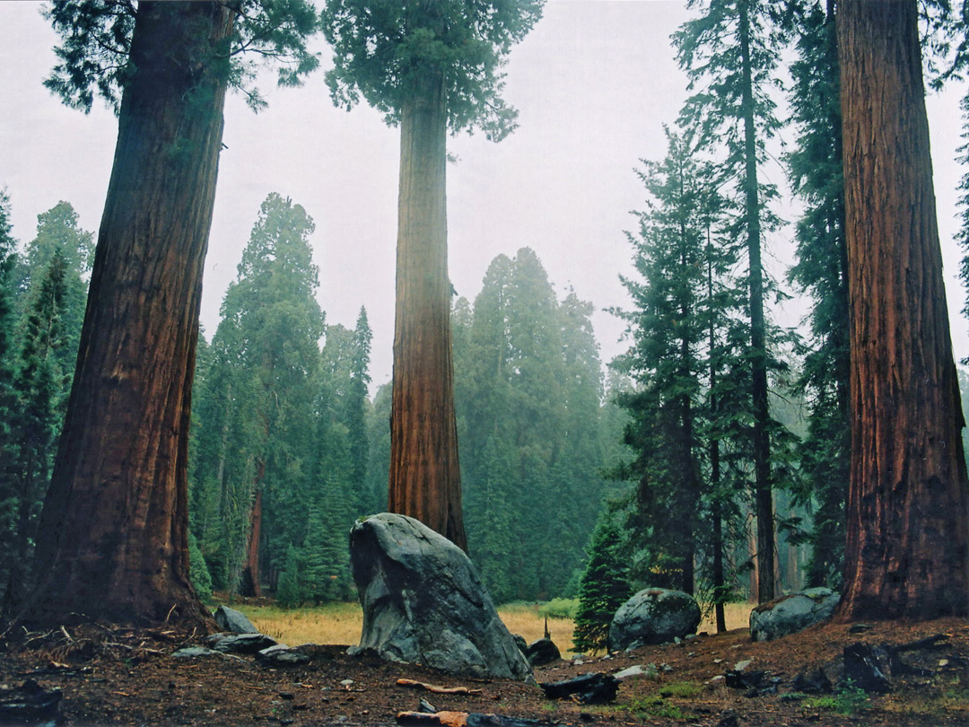 Sequoia on the Big Trees Trail