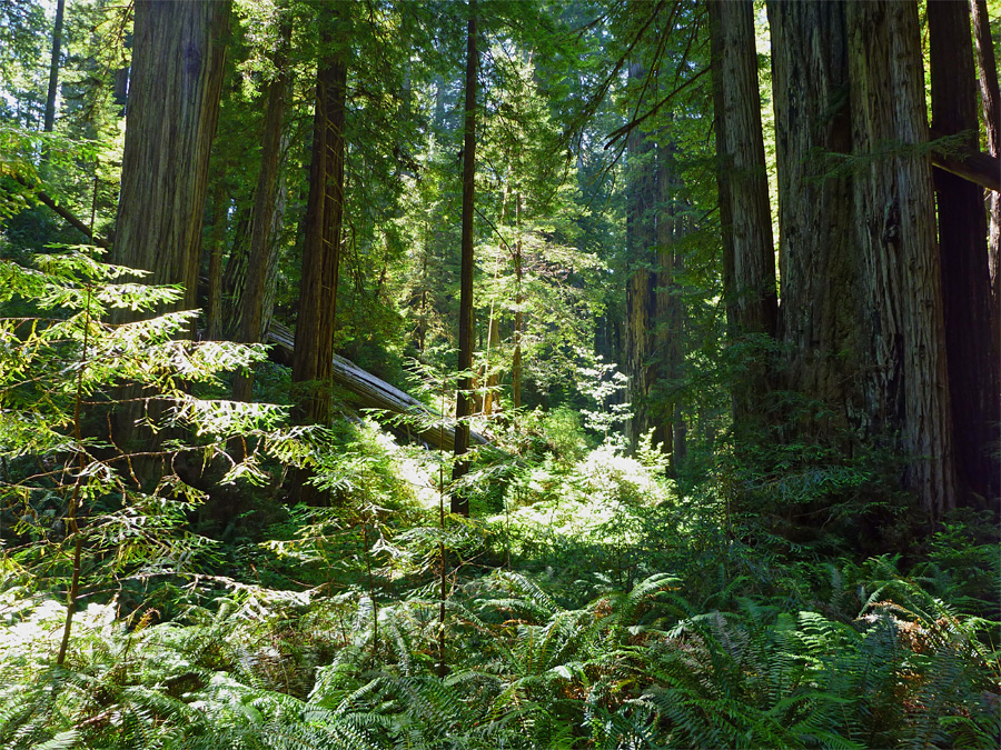 Undergrowth: Brown Creek and South Fork Trails, Prairie Creek Redwoods ...
