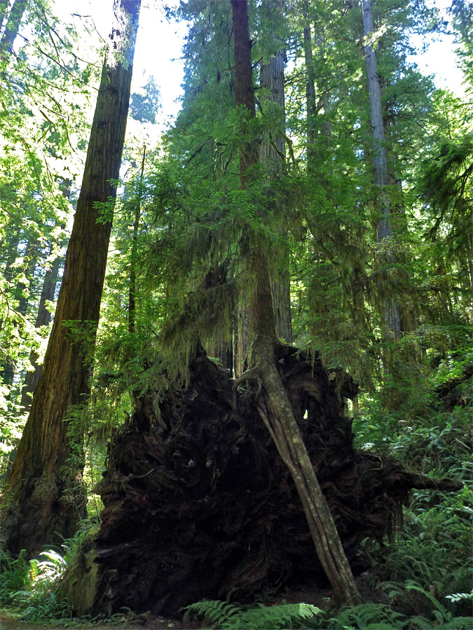 Redwood roots