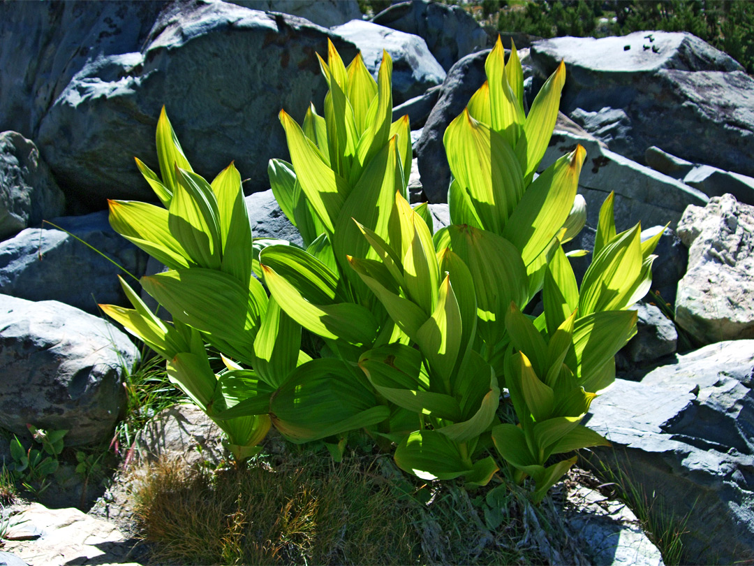 California corn lily