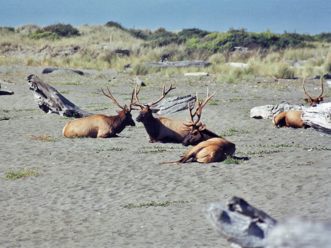 Elk on Gold Bluffs Beach