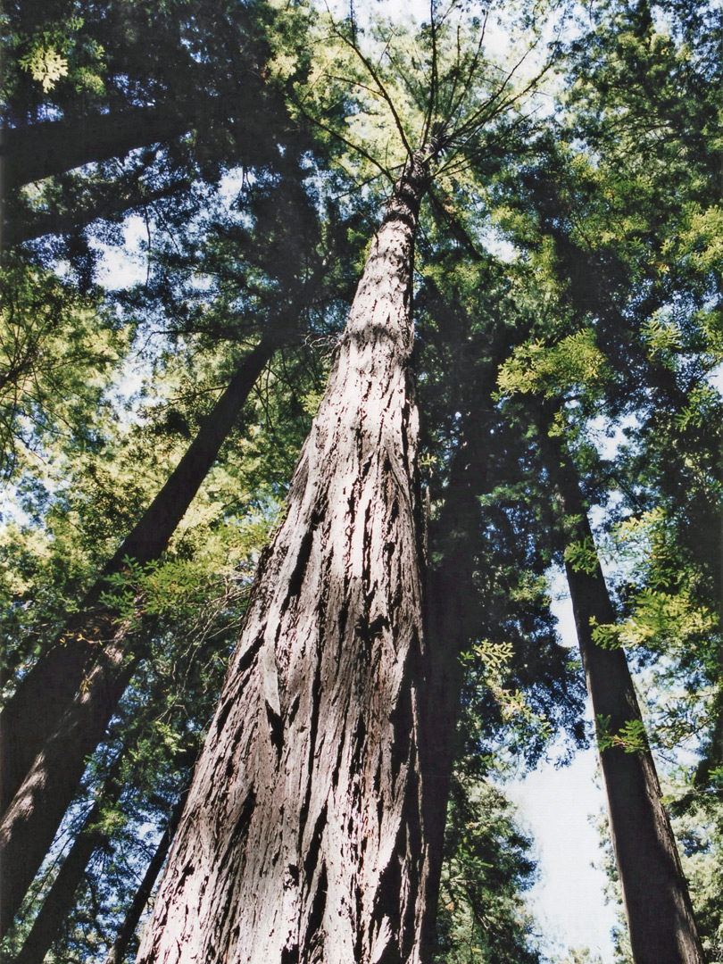 tree in founders grove  humboldt redwoods state park