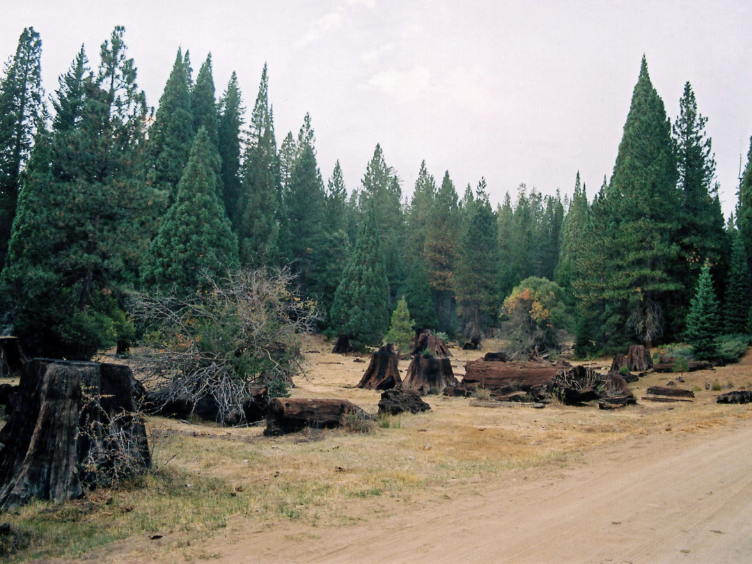 Sequoia stumps