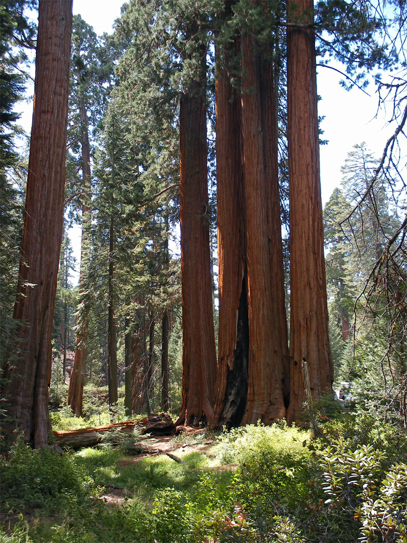 Group of giant sequoia