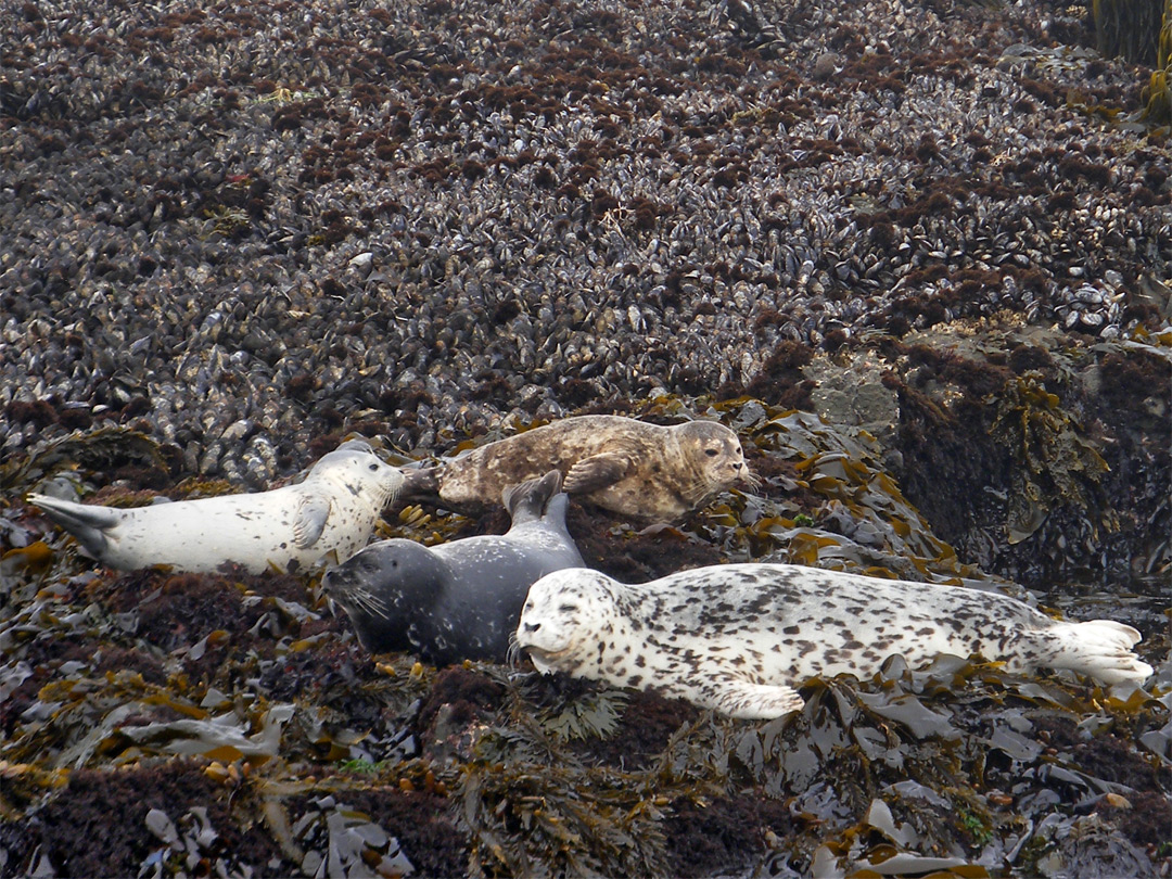 Harbor seals on kelp