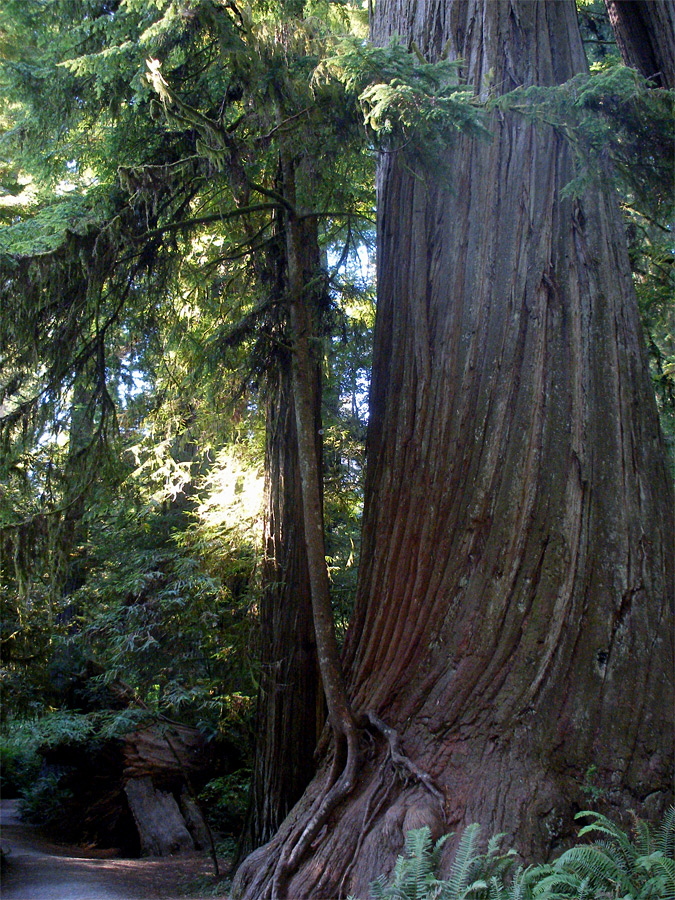 Redwood by the Hatton Trail