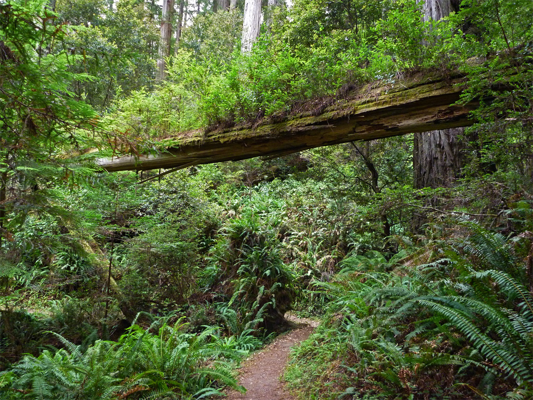 Fallen tree above the trail