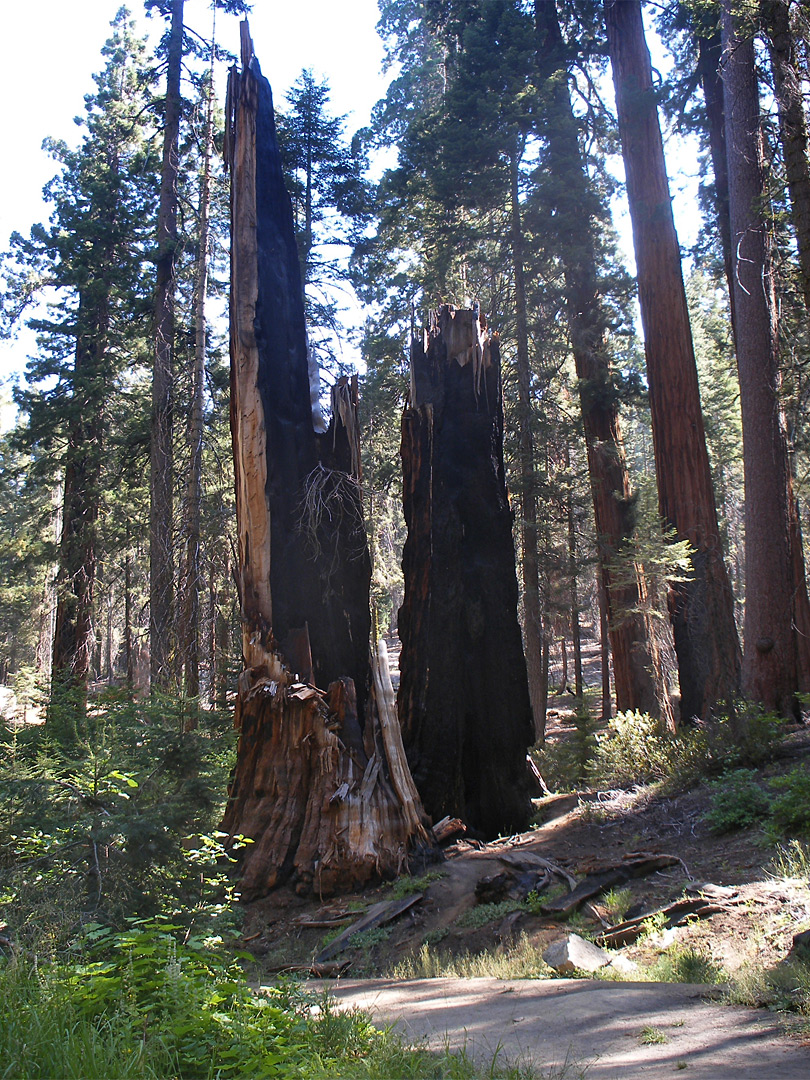 Burnt sequoia stump