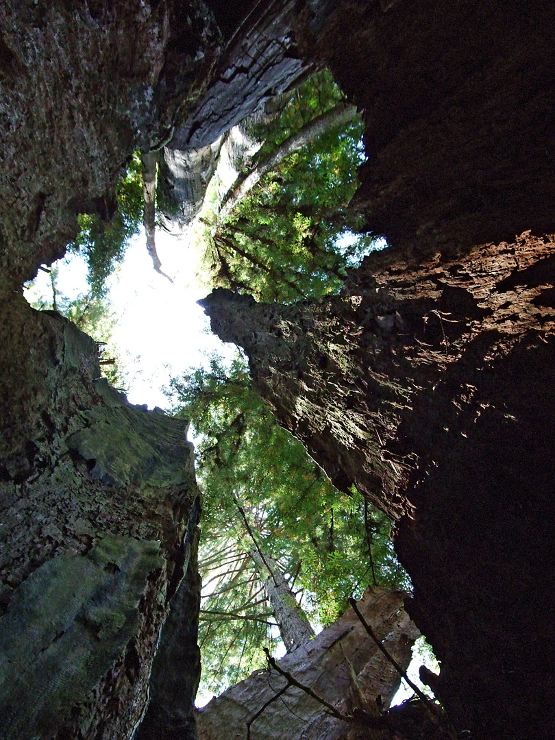 A hollow redwood