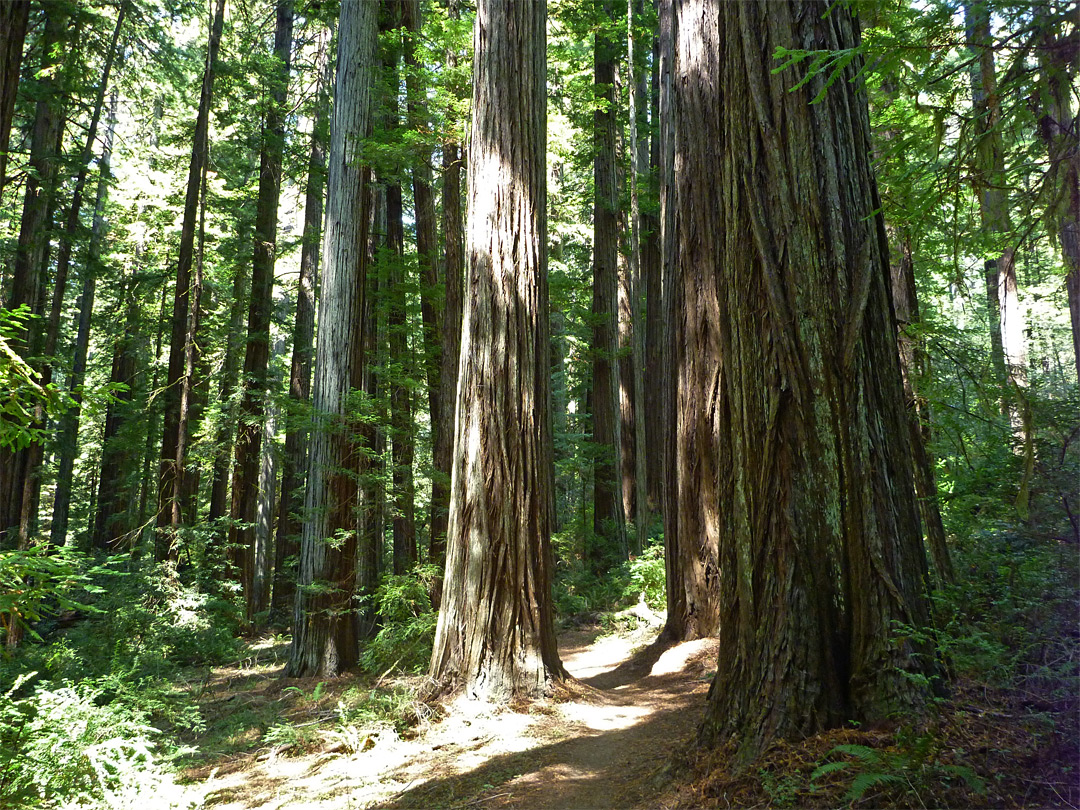 Differently-sized redwoods